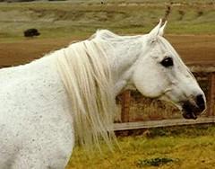Gdansk+ at age 12 (valeehill) Tags: ca arabianhorse gdansk stallion buellton greyhorse