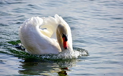 Cadence de combat (Diegojack) Tags: perroy vaud suisse allaman oiseaux cygnes chasse nage cadence lumière