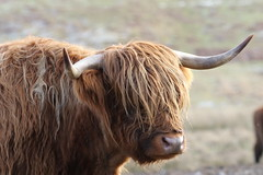 Hairy Lady (themadbirdlady) Tags: sheriffmuir ashentroolnn8200 highlandcattle cow winter