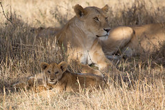 Lion cub (with guard) (Ring a Ding Ding) Tags: 2017 africa bigcat kitcheche masaimara olareorok cat nature predator safari wildcat wildlife narokcounty kenya