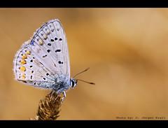 Silver-studded Blue [Geißklee-Bläuling] (www.krall-photography.com) Tags: silverstuddedblue geiskleebläuling schmetterling butterfly nikond200 frankreich rhonedelta provence camargue regensburg beautiful magicofaworldinmacro naturalezamundialworldwidenature ariesfotofriends globalvillage2 shining☆star ultimategold flickrspecial eperke flickrsheaven ☼θβĵ€кtif☼ whatawonderfulworld dazzlingshots butterflieselegance loveit dragongoldaward damniwishidtakenthat picturesworthathousandwords thisphotorocks ◄☺♫☼♥together♥☼♫☺► colourvisions ♡beautifulshot royalgroup lustauffotos photographyidol diamondheart diamondstars flickrloversgroup photographersgonewild worldofanimals nikonflickraward photographersreallygonewild ·extendelement ★favoritepictures★ musictomyeyes doubledragonawards photographyrocks artofimages ·zafiro throughyoureyestoours2 flickrhappy internationalflickrawards universeofnature ablackrose thekinggroup°exclusive° davincimemories thebestshot platinumbestshot bestofdamniwishidtakenthat peaceawards platinumpeaceaward flickrsbestpictures creativemomentsinourtime sparklingbeauty blackrosetreasures fotoadicts juergenkrall thekeyofyourmindgold lamiaimmagineelasuapoesia arteemisteronelloscattocreativo mygearandmebronze mygearandmepremium mygearandmesilver mygearandmegold mygearandmeplatinum