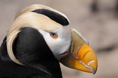 Tufted Puffin at Cannon Beach