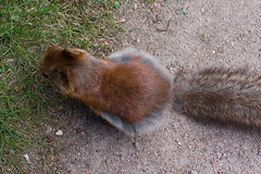 Do my winter pants make me look fat? (TomiTapio) Tags: cemetery fur helsinki squirrel fuzzy iso400 coat tail fromabove orava moult tame moulting floofy hietaniemi sqrl kurre canonefs1855mmf3556usm furcolours