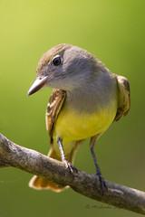 _53F8297 Great Crested Flycatcher (~ Michaela Sagatova ~) Tags: bird nature flycatcher greatcrestedflycatcher myiarchuscrinitus birdphotography michaelasagatova