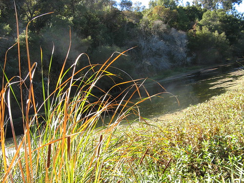 Cattails at Sausal Pond
