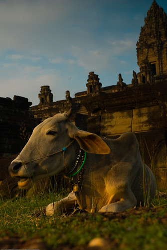 A cow at Bakong, Angkor Wat