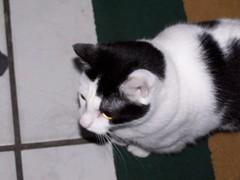 100_2366 (tdevry) Tags: cute cat purdy