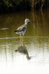 Greater Yellowlegs, Plum Island, MA (flyingibis) Tags: