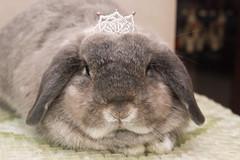 [stuff on bun's head 4] (jade_c) Tags: pet rabbit bunny animal mammal singapore opal  hollandlop andora  lagomorph opalhollandlop flickr:user=bunnyhop