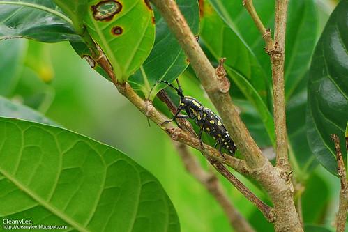 31361 蘭嶼黃星天牛 Psacothea hilaris botelensis (Breuning et Ohbayashi, 1966)