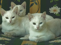 Three brothers (brilliantdandy) Tags: cats white animal animals three feline brothers gatti dandy hunters mici brilliantdandy