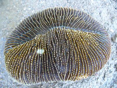 Fungia (Ctenactis) simplex