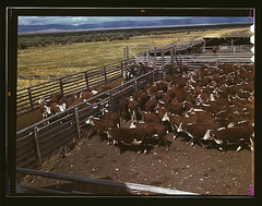 Library of Congress photo: Cattle in corral waiting to be weighed...