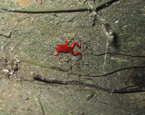 Ranita roja (detalle de manos y pies celestes)