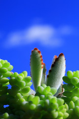 Kalanchoe tomentosa ( Spice (^_^)) Tags: camera blue plants flower color green art beautiful japan canon geotagged photography eos photo amazing interesting flora asia flickr image photos wordpress creative picture vivid blogger livejournal explore photographs photograph collections  5d safe portfolio vox dslr     gettyimages skybl