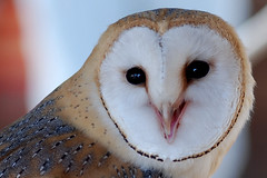 Barn owl (wilsonaxpe) Tags: naturethroughthelens