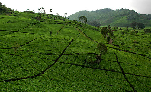 tea plantations near Ciwidey