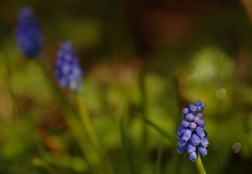 Muscari botryoides - Blauwe druifjes, Grape hyacint