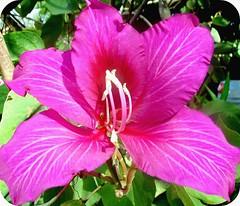 "Pink Beauty  ""bauhinia blakeana"" (tinica50) Tags: macro brasil viagens orchidtree bauhiniablakeana patadevaca avision pinkalicious fazendão anawesomeshot onlythebestare excapture goldstaraward thepoweroftheflower masterflowerflormaestra thegoldenflower mimamorflowers awesomeblossoms theperfectpinkdiamond"