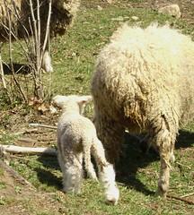 bandit's lamb 001