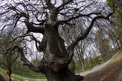 Gnarly trees resist spring