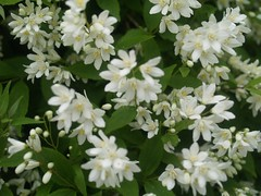 Deutzia (maggie_and_her_camera) Tags: