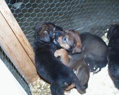 Mastweilers (muslovedogs) Tags: dogs puppy mastweiler