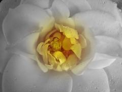 yellow flower closeup - focal b&w