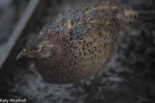 Sodden pheasant
