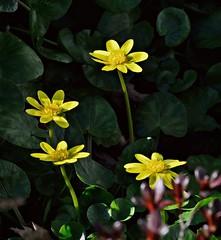 Winter aconite blooms 2 13 2017 (rbdal (Rick Dalrymple)) Tags: winteraconite eranthis yellow yellowflowers flowers february winter hillsboro washingtoncounty oregon d7000 nikon