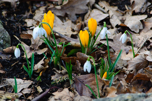 Crocusses and snowdrops