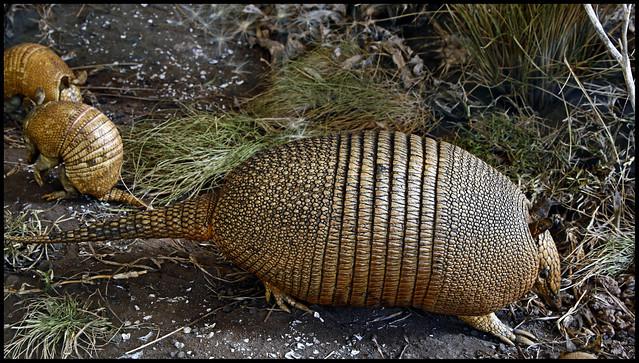 Dasypus hybridus (mulita)