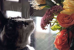 They add a little colour to the room (Jean-Franois Chnier) Tags: flowers cat kitten tortoiseshell explore calico japanesebobtail  pyx jfcpix