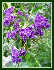 Potted Duranta erecta 'Sweet Memories' at our backyard, captured October 13, 2007