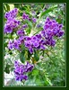 Duranta erecta 'Sweet Memories' (Pigeon Berry, Golden Dewdrop, Skyflower)