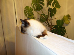 DSCI0154 (phildingo) Tags: cute furry adorable fluffy siamese kittens cuddly himalayan zeek finnian burmin