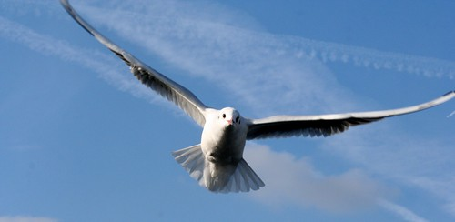 Seagull over Thames
