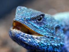 Tree Agama (Makgobokgobo) Tags: africa garden reptile botswana agama treeagama specanimal agamaatricollis