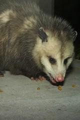 Opossum, November 2007-4 (Maggie Osterberg) Tags: leica night opossum wildlife lincoln m8 voigtlnder maggieo coolestphotographers voigtlnder28mmcolorskoparf35