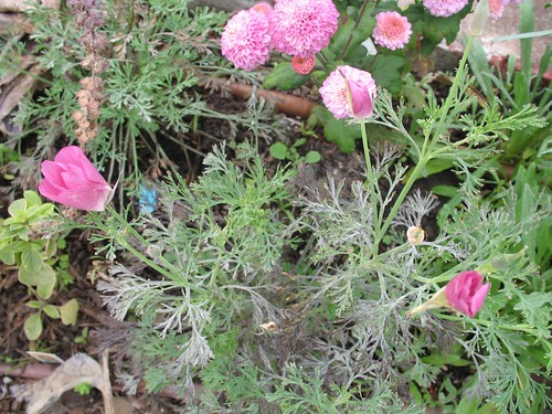 poppy seed planting instructions