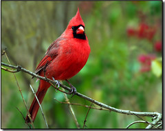Pretty as a Picture... (nature55) Tags: autumn cold nature birds wisconsin outdoors bravo cardinal aves soe northerncardinal naturesfinest magicdonkey specanimal nature55 mywinners mywinner avianexcellence diamondclassphotographer ysplix