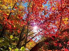 Autumn Sun (J-Fish) Tags: autumn red sky sun fall nature yellow maple foliage sunburst redmaple blueribbonwinner cotcmostinteresting z612 kodakz612 platinumphoto herowinner ultraherowinner