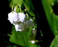 Berlin our Garden: refresh lily of the valley  24.484.09 (Juergen Kurlvink) Tags: white plant flower berlin water germany garden geotagged deutschland photography waterdrop eau wasser europa europe natur pflanze eu blumen passion bloom blume blte ourgarden weiss allemagne garten springtime 2007 wassertropfen frhling lilyofthevalley excellence spandau brd juergen bln maiglckchen convallaria majalis kladow unsergarten 0fav kurlvink goldstaraward excellentsflowers kurli1 maiglocken 0allok 0nah