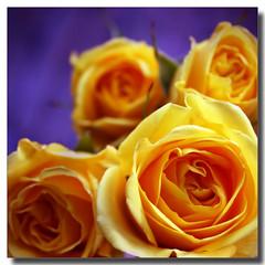 I have fallen in love all over again.... (Maureen F.) Tags: roses flower love beauty rose yellow bravo friday paleyellow themoulinrouge blueribbonwinner magicdonkey anawesomeshot aplusphoto colourartaward