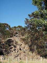 Araucarias