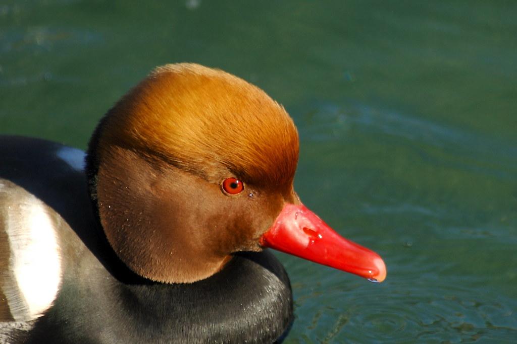 Pato de Bico Vermelho (Netta rufina) - macho