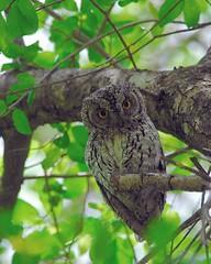 Scops Owl (jeremyhughes) Tags: southafrica eyes nikon explore owl d200 nikkor krugernationalpark kruger africanscopsowl otussenegalensis scopsowl jeremyhughes nikond200 featheryfriday 300mmf4d