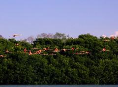 Flamencos volando en el manglar (elkrusty) Tags: pink rescue bird animal fauna venezuela wildlife flamingo conservation mangrove ave zulia silvestre flamenco wildliferefuge reserva mangle manglar rosado rescate cienaga conservacion cinaga areaprotegida refugiodefauna protectedareas firsttheearth minamb losolivitos helimenes