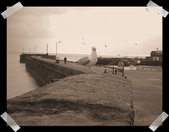 Seagull At Brid (PureWarriorMaiden - More off than at the mo : )) Tags: sea sepia vintage pier seaside seagull bridlington