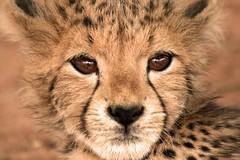 cub (full face) (Brett Terry) Tags: africa baby cute canon eos cub safari cheetah big5 babyanimal eos40d goldstaraward brettterry vosplusbellesphotos